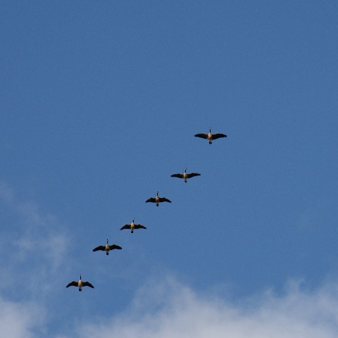 Geese flying to ...